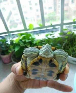 巴西龟感冒了怎么办